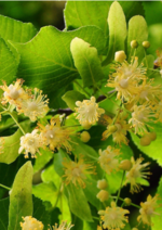 Promos et remises  : Craquez pour le miel de tilleul bio
